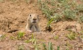 Cynomys ludovicianus, Black-tailed Prairie Dog looking out from his burrow