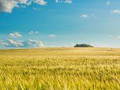 Wheat field by summertime.