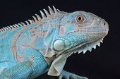 pic of herbivore animal  - Iguana - JPG
