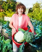 Woman grows harvest in the garden. Senior with vegetables