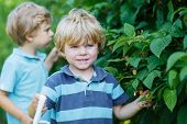 Two Little Sibling Boys Having Fun With Picking Berries On Raspberry Farm
