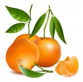 Fresh tangerine fruits with green leaves and slices. Photo-realistic vector illustration.