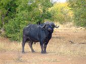 stock photo of dagga  - This very dangerous male buffalo was photographed during a walk in the Kruger National Park, South Africa, he was out 50m away from us, on his way to a water hole.
