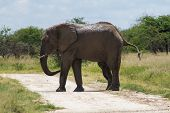 Adult Male Elephant Crossing The Road