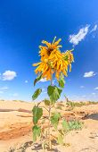 Sunflower In The Desert