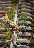 Chicken on a railway track