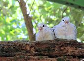 stock photo of ring-dove  - Pair of Ringneck Dove Chicks  - JPG