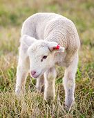 picture of suffolk sheep  - a white suffolk lamb in the grass - JPG