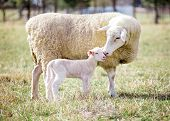 image of suffolk sheep  - A white suffolk sheep with a lamb - JPG