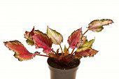 picture of begonias  - decorative foliage plant begonia on white background - JPG