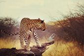 picture of leopard  - Leopard in African bush - JPG