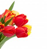 Fresh red tulips bouquet. Isolated on white background
