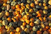 Autumn pumpkin holiday - Halloween. Gorgeous mature colorful pumpkins picturesque piles spread out on the grass. The sun shines all the warm light
