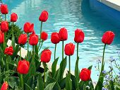 Red Tulips Against Blue Water