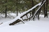 Old tree in winter pine forest