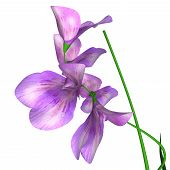 picture of sweet pea  - Sweet pea is a flowering plant in the genus Lathyrus in the family Fabaceae - JPG