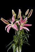 picture of day-lilies  - Pink day lilies isolated on a black background - JPG