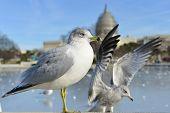 Seagulls and Capitol Building - Washington DC, USA