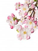 Spring blossoms on white background. Free space for text