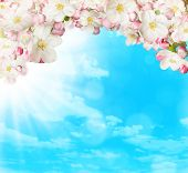 Spring blossoms on blue sky background. Free space for text