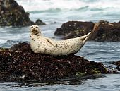 California Harbor Seal Laying On Rock, Big Sur, California