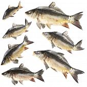 Collage of fresh carp fishes, isolated on white