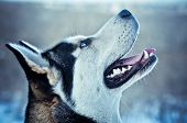 stock photo of sled dog  - Siberian Husky dog in winter Sled - JPG