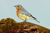 picture of bluebird  - Eastern Bluebird (Sialia sialis) on a moss covered perch with a blue background ** Note: Soft Focus at 100%, best at smaller sizes - JPG