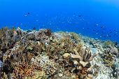 picture of damselfish  - Tropical fish and corals on a healthy reef - JPG