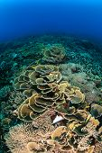 Hard corals on a healthy coral reef