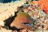 Giant Moray on a coral reef