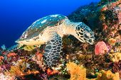 stock photo of hawksbill turtle  - Hawksbill Sea Turtle feeding on a tropical coral reef - JPG