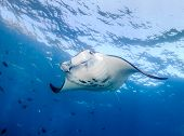 Manta Ray near the surface