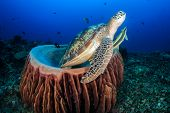 stock photo of green turtle  - Green Turtle leaving a barrel sponge to breath - JPG