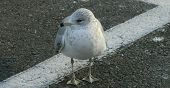 Seagull in Parking Lot
