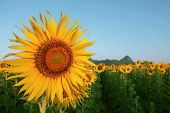 Close Up Yellow Sunflowers Petal In Plant Field With Blue Sky Copy Space