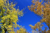 Autumn. Gold birch and maple tops against blue sky