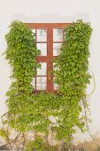 picture of creeper  - window framed by green creeper castle Sweden - JPG