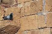 Pigeon on wall in Caesarea Maritima National Park