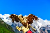 pic of jade  - Trained falcon at Jade Dragon Snow Mountain spreading out wings