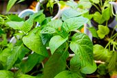 Young plants paprika seedlings