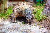 pic of komodo dragon  - Komodo dragon wander inside with tongue hanging - JPG