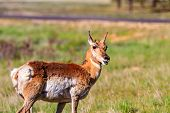 image of mule  - Mule deer in Bryce Canyon National Park Utah