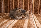 Fluffy Tabby Kitten Lying On Couch