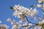 White Flowers To Cherries