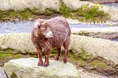 foto of pygmy goat  - Brown pygmy goat interacts with visitors in the petting zoo - JPG