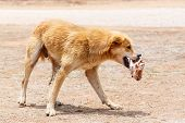 stock photo of stray dog  - Close up dirty stray dog hold the bone in mouth - JPG