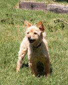 foto of gizmo  - Gizmo playing in the backyard on a sunny day - JPG