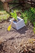 hyacinth bulbs in grey wooden box with shovel on garden bed in spring sunny day