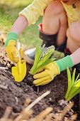 child girl in yellow and green rubber gloves planting hyacinth flower in spring garden